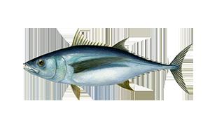Albacore-Tuna-icon.png