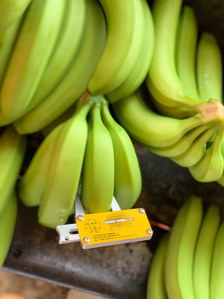 Cavendish-Banana-03.jpg