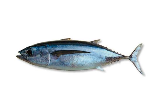fresh albacore tuna Freya Produce