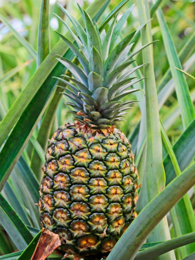 MD2-Gold-Pineapple-01-1.jpg