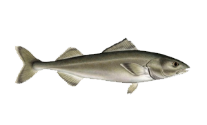 Sablefish-icon.png