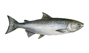Salmon-icon.png