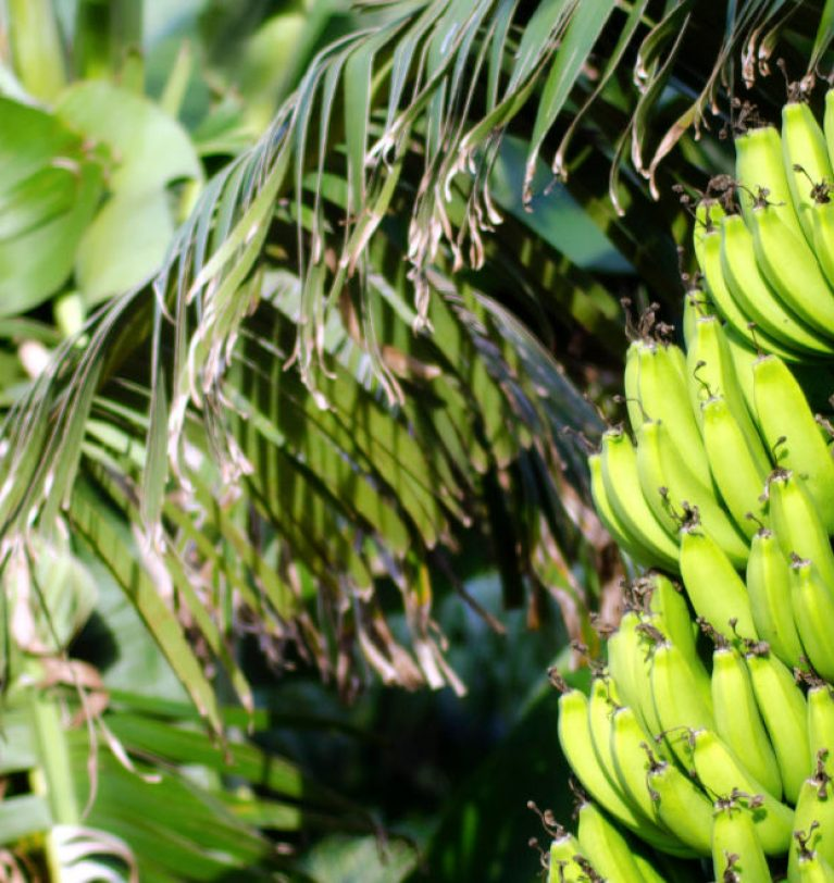 FAO launches project to fight banana disease in Latinamerica & Caribbean
