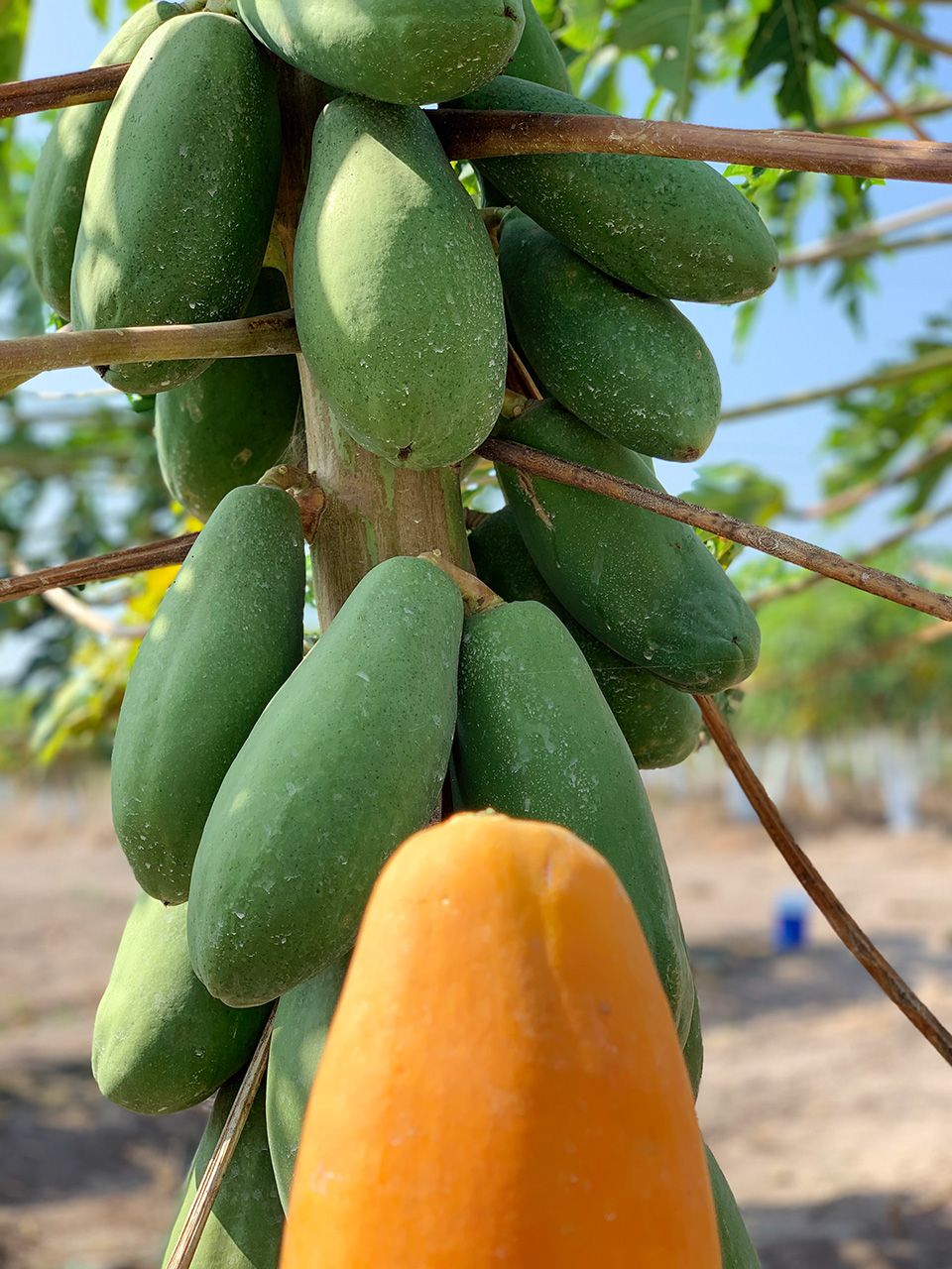 Maradol Papayas in Veracruz