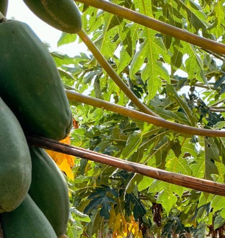 Searching for the most select papayas in Veracruz